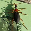 Ground beetle - Galerita bicolor