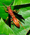 Large Wasp - Polistes carolina