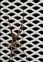 Western Black Widow? - Latrodectus hesperus - male