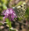 Moth - Pontia occidentalis - female