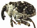 Weevil beetle - Dietzella zimmermanni
