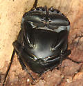 Dung beetle June 14 - Canthon
