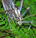 Las Vegas, NV, backyard grasshopper. Seen morning and evening on sides of building or in vegetation - Capnobotes fuliginosus - male