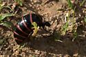 Large Black & Orange Insect - Megetra punctata