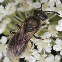 Bee IMG_0134 - Lasioglossum - female
