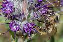 Bombus occidentalis? - Bombus mixtus