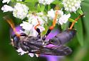katydid wasp? Sphex nudus - Sphex nudus - male