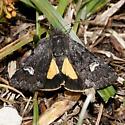Coranarta luteola (Hodges 10332) - Coranarta luteola