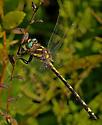 Dragonfly 58 - Cordulegaster obliqua
