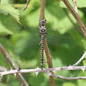 blue-eyed darner - Rhionaeschna multicolor - male