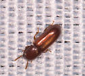 Tiny Brown Beetle - Corticeus