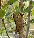 Two-Striped Grasshopper - Melanoplus bivittatus - Melanoplus bivittatus - female