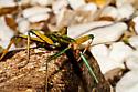 A Female Giant Walking Stick - Megaphasma denticrus - female