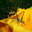 Princess Anne grasshoppers - Scudderia