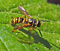 Wasp mimic syrphid fly - Temnostoma daochus