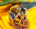 Bee on Cosmos - Tetraloniella - female