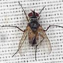 Fly - Cholomyia inaequipes - female