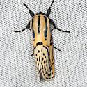 Hieroglyphic Moth - Hodges #8560 - Diphthera festiva
