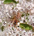 unknown hymenoptera - Nomada