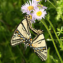mating Canadian Tiger Swallowtails - Papilio canadensis - male - female
