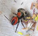 Salticidae - Phidippus