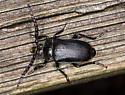 Unidentified Beetle  - Prionus