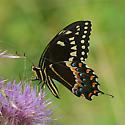 Swallowtail species - Papilio palamedes