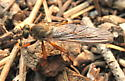 Asilidae - Stenopogon? - Neomochtherus californicus