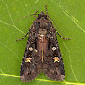Actebia fennica