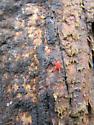 Red velvet mite (Neomolgus littoralis) - Neomolgus littoralis