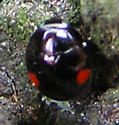 Need fresh eyes here: black-with-2-red-spots lady beetle - Hyperaspis
