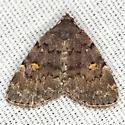Common Idia Moth - Hodges #8323 - Idia aemula
