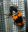 Sexton beetle - sps? - Megalodacne heros
