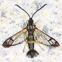 Dogwood Borer - Synanthedon scitula - female