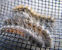 Fall Webworm - Hyphantria cunea