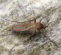 northen house mosquito - Culex pipiens - female