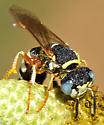 Philanthus - Philanthus ventilabris - female
