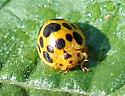 Squash Lady Beetle - Epilachna borealis