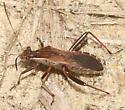 Assasin Bug? - Alydus pilosulus