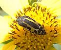 beetle - Acmaeodera scalaris