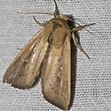 Hodges#10445 - Leucania scirpicola