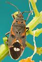 small milkweed bug? - Lygaeus kalmii