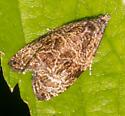 Small Moth - Olethreutes