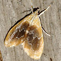 Black-patched Glaphyria Moth - Hodges #4873 - Glaphyria fulminalis