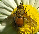 Orange and gold tachnid - Parepalpus flavidus