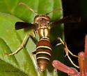 Another Florida Polistine - Polistes dorsalis