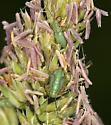 mirid nymphs - Megaloceroea recticornis