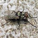 Maybe Anthomyia 2 - Anthomyia - male