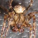 1 Small Orb Weaver - Araneus corticarius - male