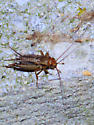 Red-headed brown cricket